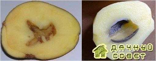 Дупловатость клубней картофеля