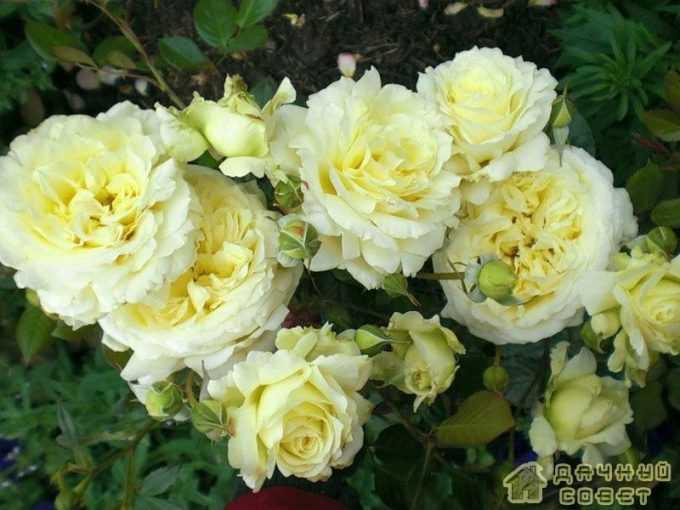 'Elfe' роза
