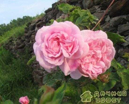 'Fantin Latour' роза