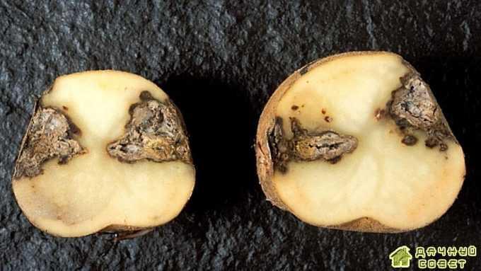 Фузариоз (сухая гниль клубней) на картофеле