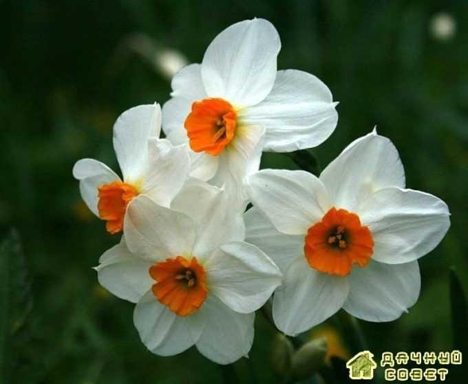 'Geranium' нарцисс