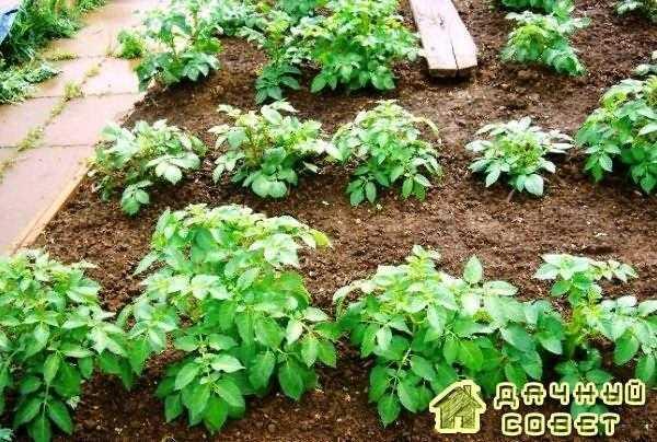 Гладкая посадка картофеля , или «под лопату»