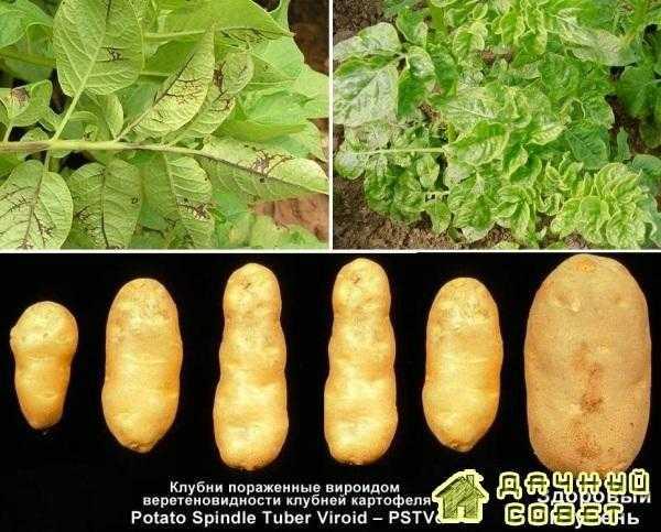 Готика (веретеновидность клубней) картофеля