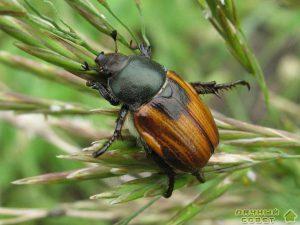 Хлебные жуки