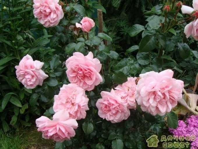 'Home & Garden' роза