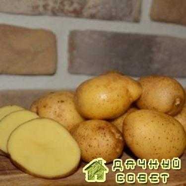 Картофель Белорусский ранний