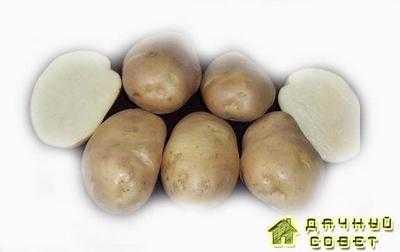 Картофель Весна белая