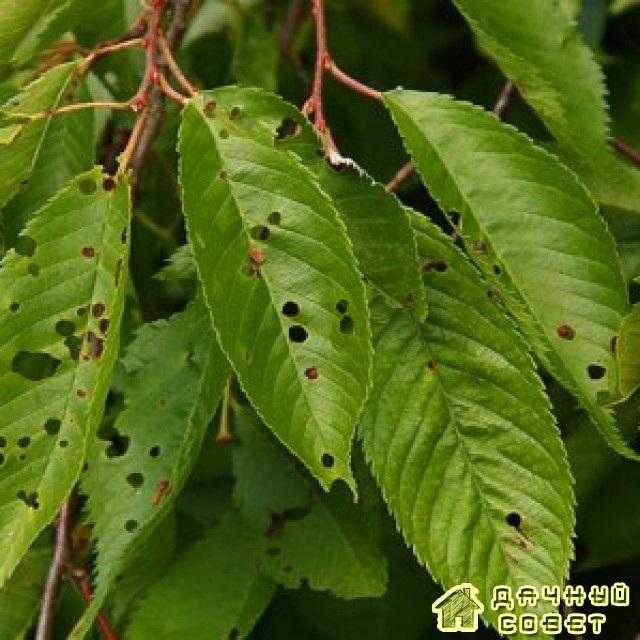 Клястероспороз(дырчатая пятнистость листьев)