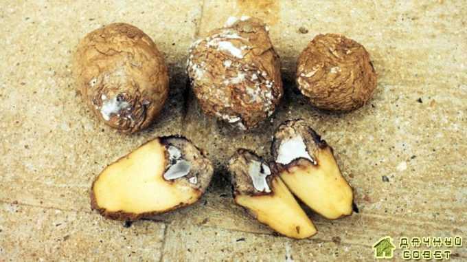 Коричневая гниль (макроспориоз) на картофеле