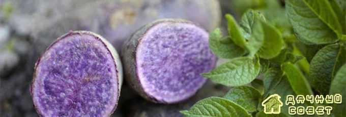 Красное или синее окрашивание мякоти клубня картофеля