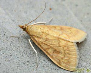 Кукурузный (стеблевый) мотылек