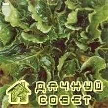 Курчавость (морщинистость) листьев свеклы