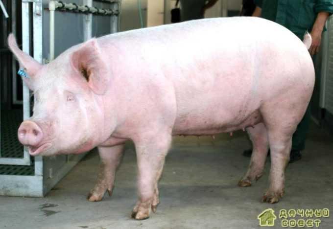 Латвийская белая порода свиней