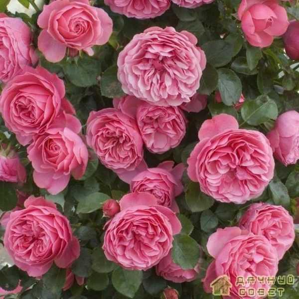 'Leonardo da Vinci' роза