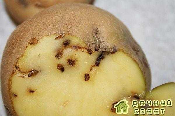 Личинки картофельной моли