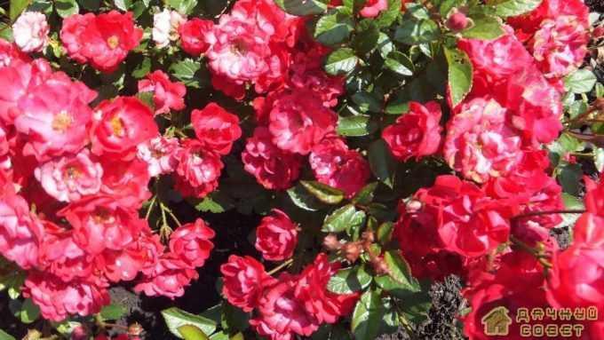 'Mozart' роза