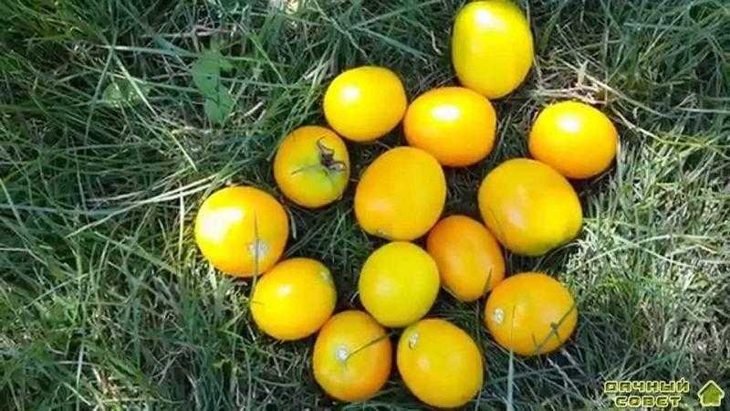 Сорт томатов Желтый шар
