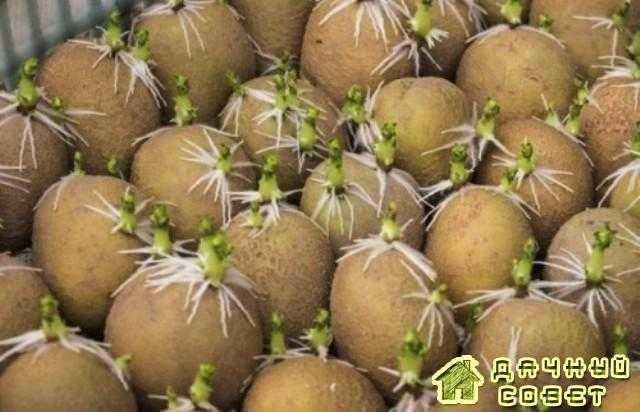 Нитевидность ростков (кудряш) картофеля