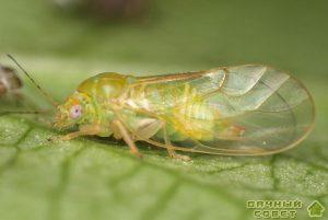Обыкновенная грушевая медяница (листоблошка)