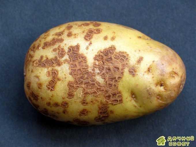 Парша обыкновенная (актиномикозная) на картофеле