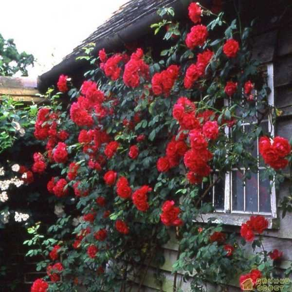 'Paul's Scarlet Climber' роза