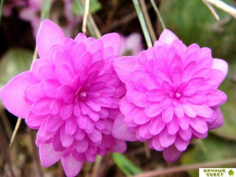 Печеночница благородная розовая махровая