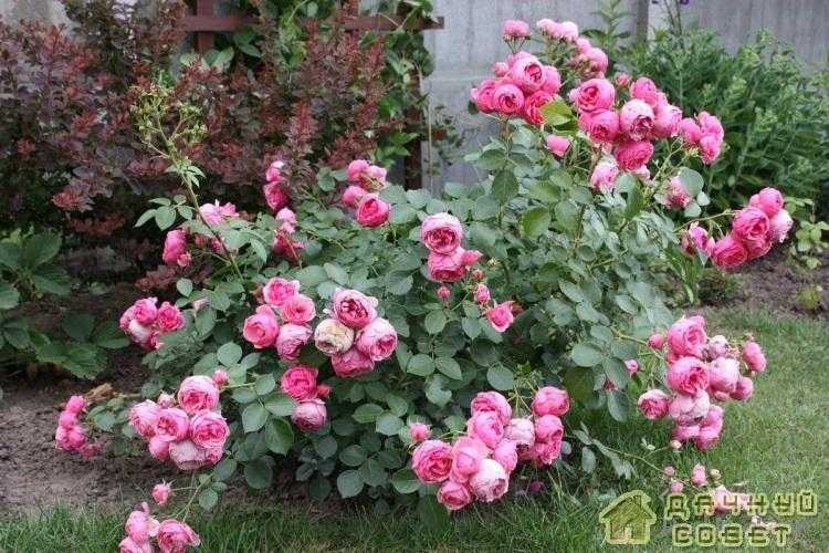 'Pomponella' роза