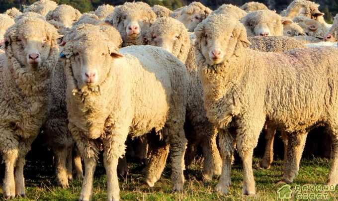 Порода овец советский меринос