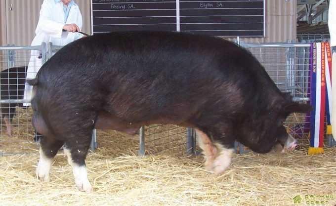 Порода свиней беркгиир