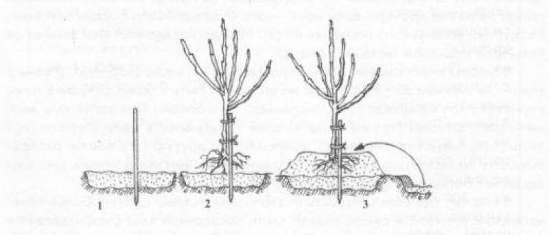 Посадка яблони на холмике:1 -установка кола; 2 — подвязка саженца к копу;.? — засыпка корней саженца землей