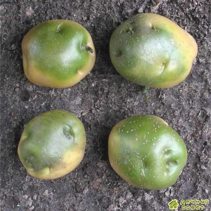 Позеленение клубней картофеля