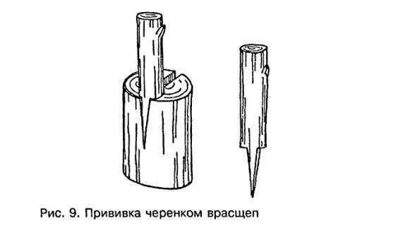 Прививка черенком врасщеп