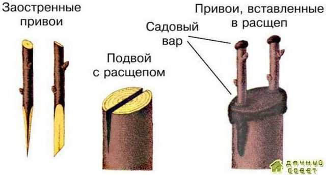 Прививка в расщеп