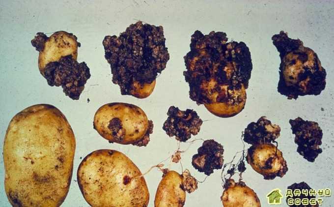 Рак картофеля картофеля