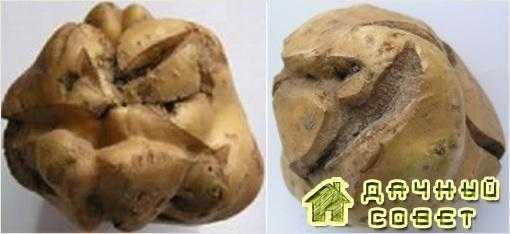 Растрескивание клубней (ростовые трещины) и сетчатость кожуры картофеля