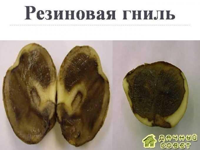 Резиновая гниль картофеля