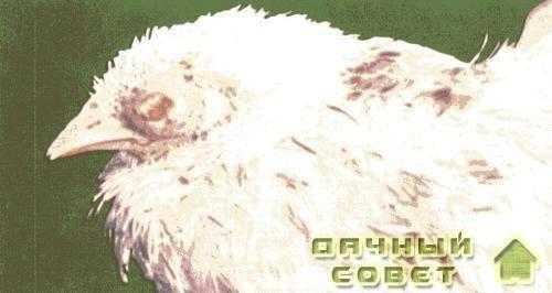 Рис. 1. Авитаминоз А опухание подглазничных синусов, казеозные массы в конъюктивальном мешке