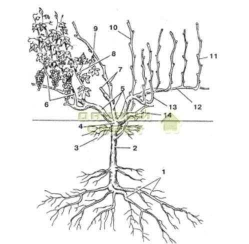 Рис. 1. Строение виноградного куста: 1 — пяточные корни: 2 — подземный штамб: 3 — поверхностные (росяные) корни. 4 — голова куста: 5 — рукава, в — плодоносные побеги: 7 — плодовое звено: 8 — бесплодный побег, 9 — пасынок. 10 — порослевой побег; 11 — однолетние побеги (лозы); 12 — стрелка плодоношения; 13 — сучок замещения; 14 — рожок