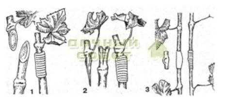 Рис. 11. Зеленая прививка винограда: 1 — простая копулировка; 2 — прививка в расщеп; 3 — окулировка