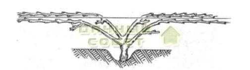 Рис. 14. Весна четвертого и последующих лет. Подвязка плодовых лоз при веерной формировке