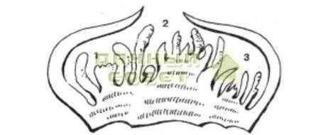 Рис. 3. Разрез глазка: 1 —замещаю&цие почки; 2 — центральная (главная) почка; 3 — покровные чешуйки