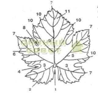 Рис. 4. Лист винограда: 1 —черешковая выемка; 2 — нижняя боковая лопасть; 3 — нижняя пара главных жилок. 4 — нижняя боковая выемка. 5 — верхняя пара главных жилок. 6 — верхняя боковая лопасть; 7 — зубчики по краям лопастей; 8 — верхняя боковая выемка; 9 — средняя жилка; 10 — краевые зубчики; 11 — средняя лопасть