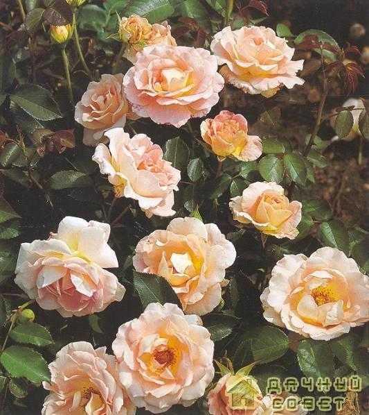 'Rokoko' роза