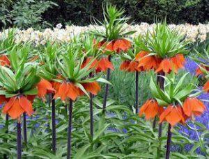Рябчик, фритиллярия (Fritillaria L.)