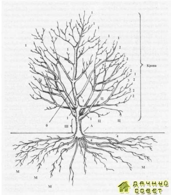 Схема строения дерена:О — ствол, или центральный проводник, или лидер: I — скелетные ветви 1-го порядка ветвления: 2 скелетные ветви 2-го порядка ветвления: 3 скелетные ветви 3-го порядка ветвления 4 — скелетные корни:Ц — обрастающие веточки, Ш — штамб: А — место прививки: М — корневая мочка. всасывающие корни