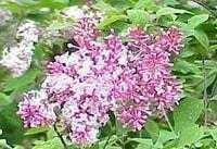 Сирень пушистая (S. pubescens)