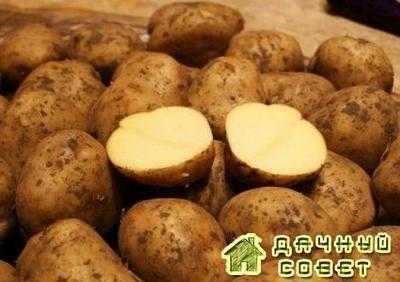 Сорт картофеля Бельмонда (Belmonda)