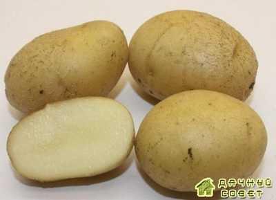 Сорт картофеля Гатчинский