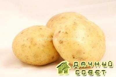 Сорт картофеля Истринский