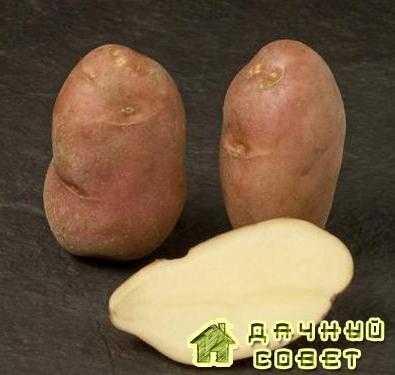 Сорт картофеля Кондор
